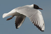 1cy Black-headed Gull in July. (85237 bytes)